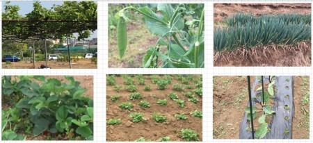 植わっている作物